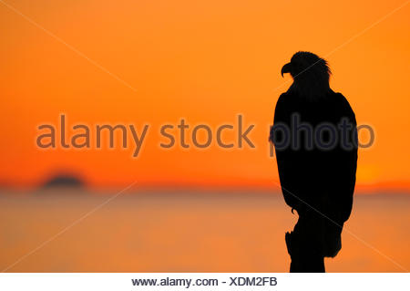 American bald eagle (Haliaeetus leucocephalus), silhouette of an eagle at sunset, Mount Iliamna in the background, USA, Alaska - Stock Photo