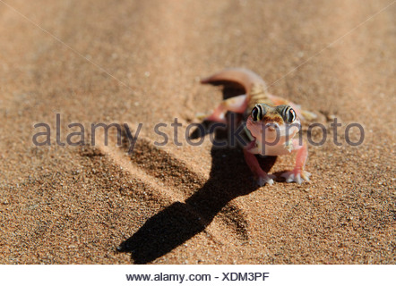 zoology / animals, reptiles, gecko, Web-footed gecko, (palmatogecko rangei), desert, Namib, Namibia, Africa, Additional-Rights-Clearance-Info-Not-Available - Stock Photo