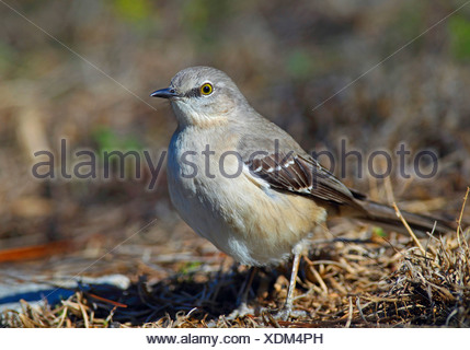 northern mockingbird (Mimus polyglottos), standing on the ground, USA, Florida, Everglades National Park - Stock Photo