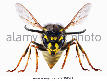 Close up of wasp - Stock Photo