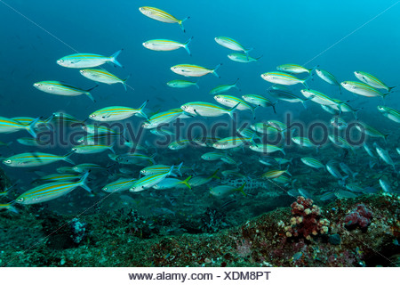 Shoal of variable-lined Fusiliers, Caesio varilineata, Hallaniyat Islands, Arabian Sea, Oman - Stock Photo