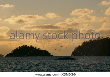 Flock of whopper swan flying over sea at dusk - Stock Photo