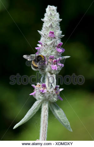 woolly lamb's ear (Stachys byzantina), inflorescence with humble bee - Stock Photo