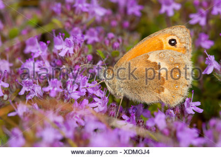 small heath (Coenonympha pamphilus), visiting thyme flowers, Germany - Stock Photo
