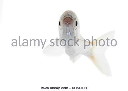 Bleak isolated on white - Stock Photo