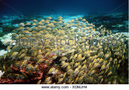 Convict surgeonfish (Acanthurus triostegus), large school swarming over reef. Maldives. Indo-Pacific - Stock Photo