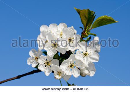 Dwarf cherry, Morello cherry, Sour cherry (Prunus cerasus 'Vowi', Prunus cerasus Vowi), cultivar Vowi, blooming, Germany - Stock Photo