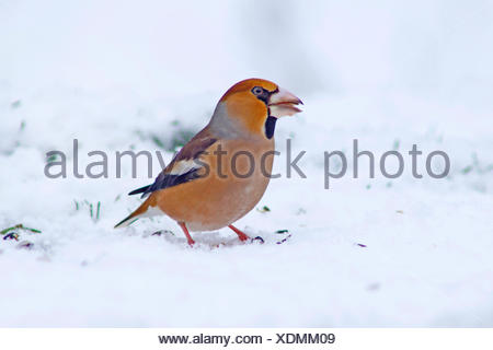 hawfinch (Coccothraustes coccothraustes), male at feeding site in winter with seed in the bill, Germany - Stock Photo