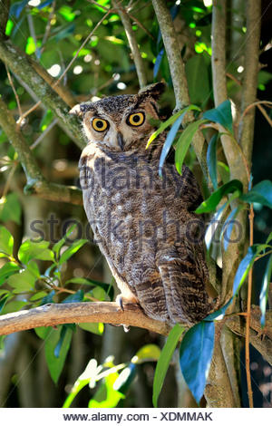 Great Horned Owl, adult on tree alert / (Bubo virginianus) - Stock Photo