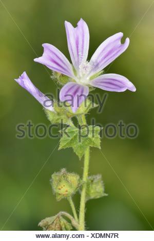 SMALLER TREE-MALLOW (CRETAN MALLOW) Lavatera cretica (Malvaceae) - Stock Photo