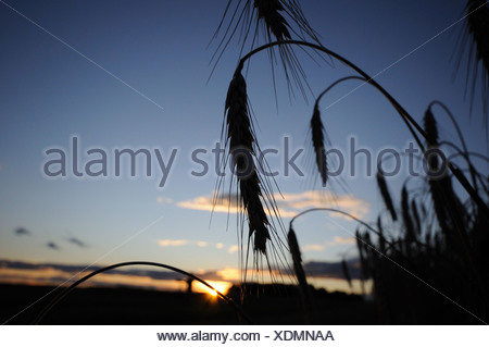 cultivated rye (Secale cereale), rye ears in backlight at sunset, Germany - Stock Photo