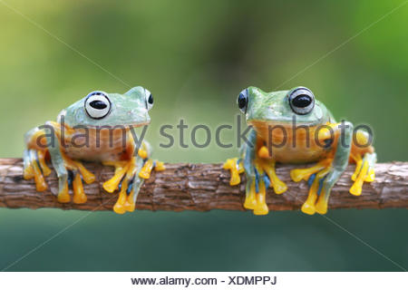 Two Javan Gliding tree frogs on a branch, Indonesia - Stock Photo