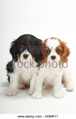 Two Cavalier King Charles Spaniel, puppies, blenheim and tricolour, 9 weeks, sitting - Stock Photo