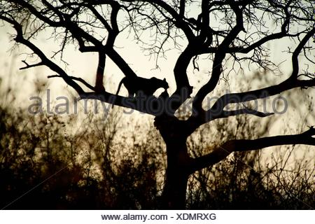Leopard (Panthera pardus) silhouetted up tree with kill, Kruger National Park, Transvaal, South Africa. - Stock Photo