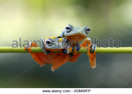 Two Javan tree frogs sitting on branch - Stock Photo