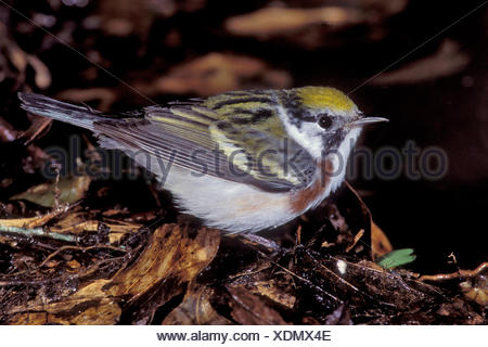 Chestnut-sided Warbler - Dendroica pensylvanica - Adult female - Stock Photo