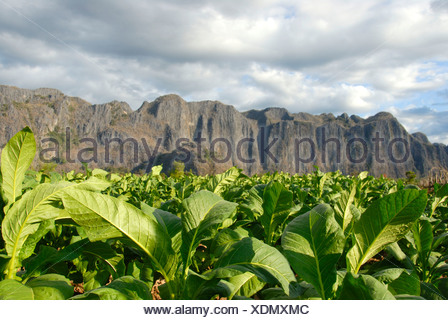 Agriculture, tobacco plants in the field, at Thakhek, Khammuan province, Khammouane, Laos, Southeast Asia, Asia - Stock Photo