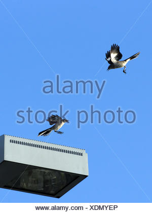 Two Northern Mockingbirds aggressively flying at each other, fighting over territory - Stock Photo
