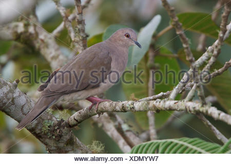 White-tipped Dove (Leptotila verreauxi) perched on a branch in Bolivia, South America. - Stock Photo