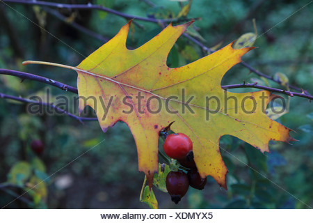 northern red oak (Quercus rubra), oak leaf lying on a branch, Germany - Stock Photo