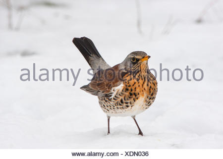 fieldfare (Turdus pilaris), on the feed in snow, Switzerland, Sankt Gallen - Stock Photo