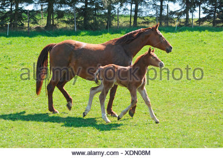 German Warmblood Horses, mare and foal / side - Stock Photo