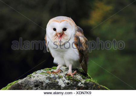 Barn owl (Tyto alba), sitting on a stone, front view, Germany - Stock Photo