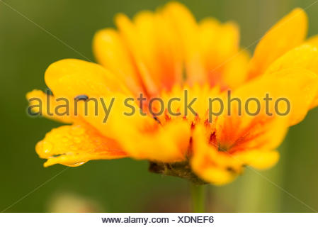 Flower Gaillardia 'Burgundian', blossom, close-up - Stock Photo