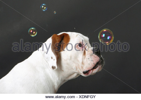 white Boxer - watching bubble soaps - Stock Photo
