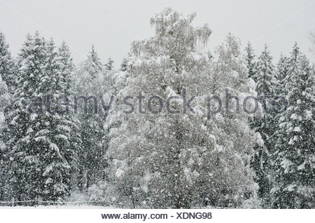 Heavy snowfall in a spruce mixed forest, branches of a birch tree bent by the snow load, near Raubling, alpine upland, Bavaria - Stock Photo