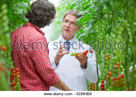 Food scientist and grower examining tomatoes ripening on vine - Stock Photo