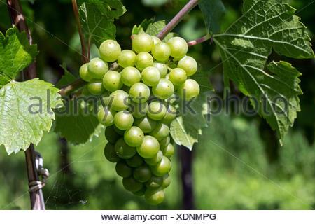 White grapes, grapes, noble Grape vine (Vitis vinifera), Fruchtstand, Baden-Württemberg, Germany - Stock Photo