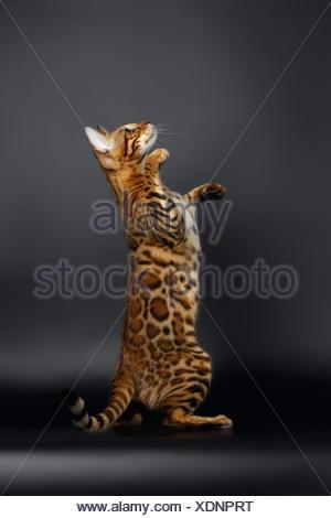 Closeup Playful Female Bengal Cat Looking up - Stock Photo