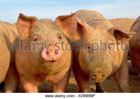 Young pigs in field, Norfolk - Stock Photo