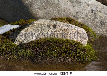 Rock surrounded by moist moss, Hornsund, Svalbard, Norway, in summertime. - Stock Photo
