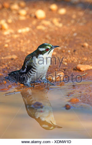 Didric cuckoo (Chrysococcyx caprius), sitting at a waterhole, South Africa, North West Province, Pilanesberg National Park - Stock Photo