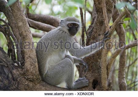 A black faced vervet monkey, Chlorocebus pygerythrus, sitting amongst some branches. - Stock Photo