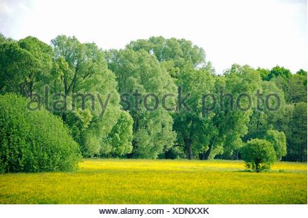 White willow (Salix alba), floodplain with  White willows, Germany, Saxony - Stock Photo