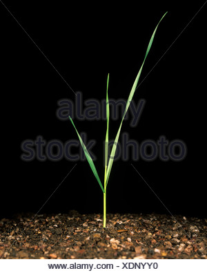 Wheat seedling with three leaves at stage 13 - Stock Photo