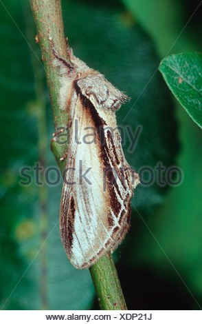 swallow prominent (Pheosia tremula), sitting on a twig, Germany - Stock Photo