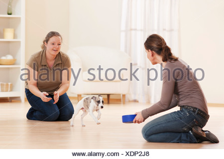 Whippet dog - puppy getting food from women - Stock Photo