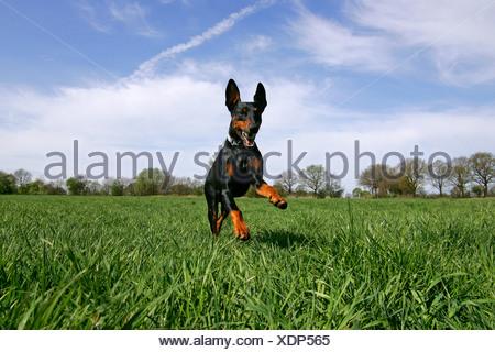 Running doberman pinscher - doberman - male - domestic dog - Stock Photo