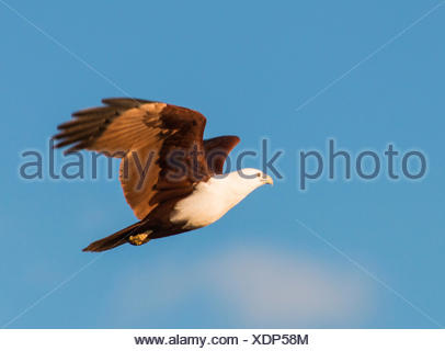 brahminy kite (Haliastur indus), in flight, Australia, Western Australia - Stock Photo