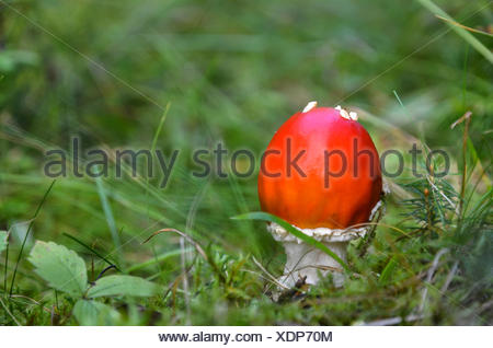 Red mushroom in a swedish forest at late summertime. - Stock Photo