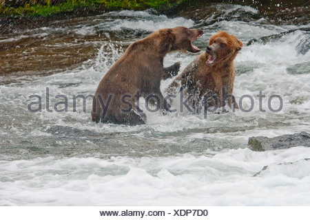 Two adult brown bears fight over a fishing spot in the Brooks River, near Brooks Falls, Katmai National Park, Alaska, Summer - Stock Photo