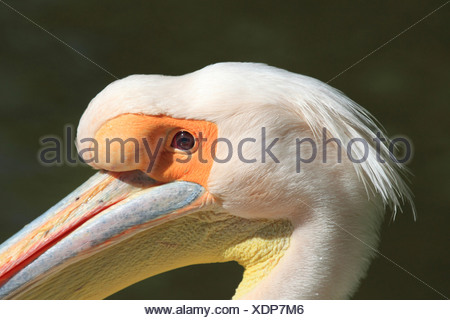 eastern white pelican (Pelecanus onocrotalus), portrait of pelican Quax in Luisenpark Mannheim, Germany, Luisenpark Mannheim - Stock Photo