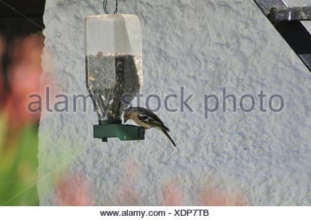 Futterschütte,chaffinch,sunflower cores,summer, - Stock Photo