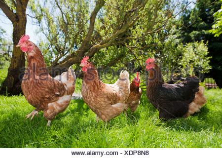 Hens on grass - Stock Photo