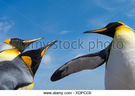 King penguins, Aptenodytes patagonica, fighting. - Stock Photo