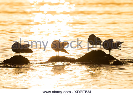 Germany, Schleswig-Holstein, Baltic Sea, Seagulls at sunrise - Stock Photo